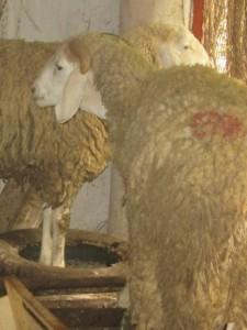 Veille de sacrifice, moutons mal parqués