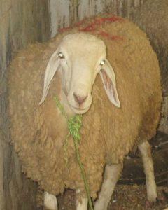 Y a-t-il obligation d'égorger un mouton ?
