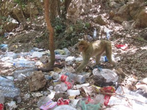Le singe magot est envahi dans son refuge.